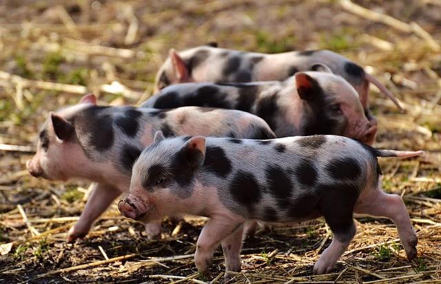 Poli-Nutri seleciona veterinário para a área de suinocultura