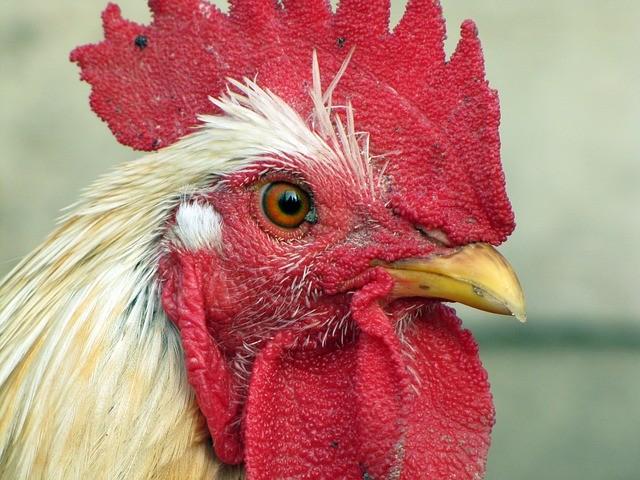 Greve dos caminhoneiros: Conab vai socorrer criadores de aves e suínos na falta de milho na ração