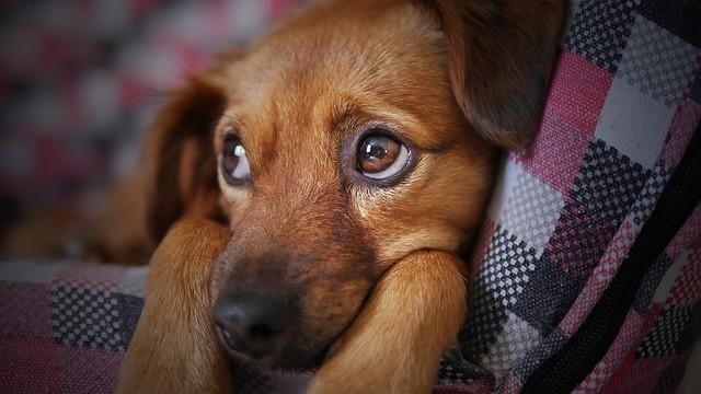 Curso gratuito a distância sobre Leishmaniose Visceral Canina recebe inscrições