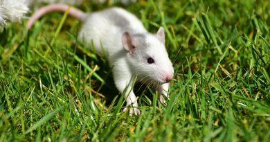 Fiocruz oferece curso gratuito de Ciência de Animais de Laboratório