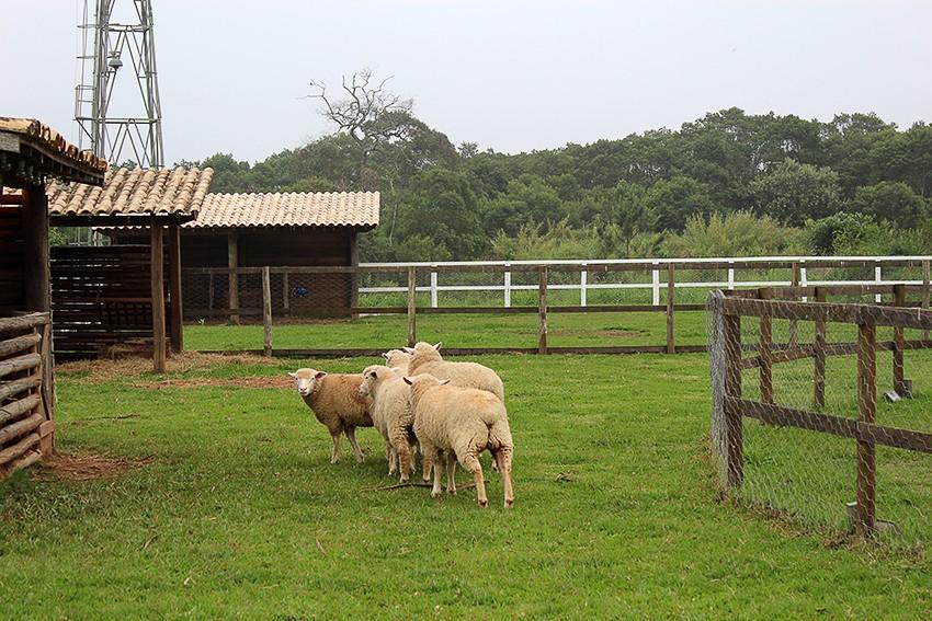 Ovelhas de A Fazenda
