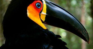 Por Ana_Cotta - Domingo de volta a floresta (+ fotos do tucano de bico preto), CC BY 2.0, https://commons.wikimedia.org/w/index.php?curid=10794965