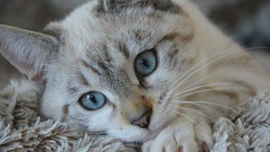 Austrália quer matar 2 milhões de gatos com veneno