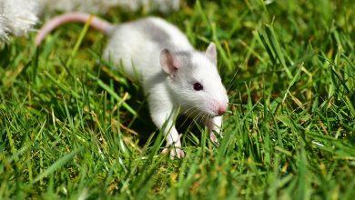 Fiocruz abre vagas em especialização de Métodos Alternativos ao Uso de Animais de Laboratório